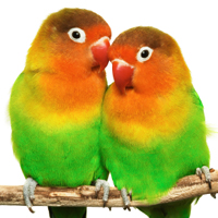 Lovebirds are very social and form deep bonds with their owners. If you are short on time to spend with your lovebird, then it is best to get him or her a companion.